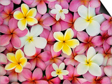 Plumeria Flowers Prints by Darrell Gulin