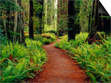 Trail Winding Through Redwoods Prints by Darrell Gulin