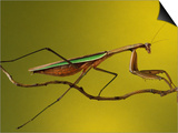 Praying Mantis on Twig, Rochester Hills, Michigan, USA Posters by Claudia Adams