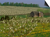 Old Barn Next to Blooming Cherry Orchard and Field of Dandelions, Leelanau County, Michigan, USA Art by Mark Carlson