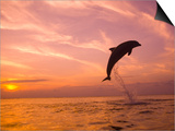 Bottlenose Dolphins, Caribbean Sea Near Roatan, Honduras Posters by Stuart Westmoreland