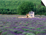 Cottage in Field of Lavender Poster by Owen Franken