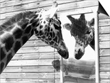 Maxi the Giraffe Gazing at Reflection in Mirror, 1980 Poster