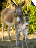 Mother and Baby Donkeys on Salt Cay Island, Turks and Caicos, Caribbean Poster di Walter Bibikow