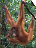 Juvenile Orangutan Swinging Between Branches in Tanjung National Park, Borneo Art by Theo Allofs