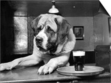 Bryan the St. Bernard Dog Enjoys a Pint, February 1956 Prints
