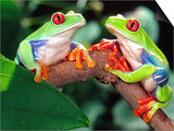 Red Eye Tree Frog Pair, Native to Central America Prints by David Northcott