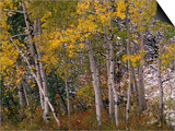 Fall Colors on Aspen Trees, Maroon Bells, Snowmass Wilderness, Colorado, USA Prints by Gavriel Jecan