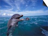 Bottlenose Dolphins, Caribbean Poster by Stuart Westmoreland