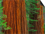 Giant Sequoia Trunks in Forest, Yosemite National Park, California, USA Prints by Adam Jones