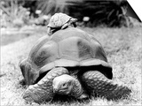 Tank the Giant Tortoise, London Zoo, 180 Kilos, 80 Years Old, on Top is Tiki a Small Tortoise Art