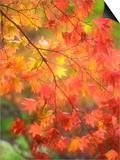 Fall Maple Leaves Prints by Janell Davidson