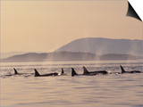 Orca Whales Surfacing in the San Juan Islands, Washington, USA Print by Stuart Westmoreland
