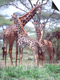 Giraffe Group or Herd with Young, Tanzania Prints by David Northcott