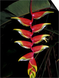 Tropical Flower on Culebra Island, Puerto Rico Print by Michele Molinari