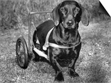 Moss the Dashshund in a Canine Wheelchair with the Slipped Disc, June 1960 Posters
