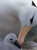 Black-Browed Albatross Preening Chick in Nest, Falkland Islands Affiches par Theo Allofs