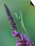 Praying Mantis on Purple Loosestrife Posters by Adam Jones