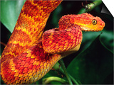 African Bush Viper Posters by David Northcott
