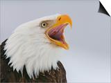 Bald Eagle Screaming, Homer, Alaska, USA Prints by Arthur Morris