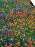 Paintbrush, Bluebonnets, and Bladderpod, Texas, USA Prints by Adam Jones