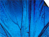 Detail of Blue Morpho Wing, Barro Colorado Island, Panama Prints by Christian Ziegler
