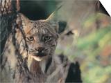 Lynx in Denali National Park, Alaska, USA Poster von Dee Ann Pederson