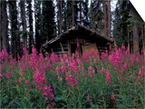 Abandoned Trappers Cabin Amid Fireweed, Yukon, Canada Art by Paul Souders