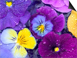 Pansy Flowers Floating in Bird Bath with Dew Drops, Sammamish, Washington, USA Posters by Darrell Gulin