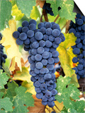 Cabernet Sauvignon Grapes, Napa Valley, California Prints by Karen Muschenetz