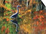Great Blue Heron in Fall Reflection, Adirondacks, New York, USA Poster von Nancy Rotenberg