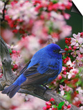 Male Indigo Bunting Among Crabapple Blossoms Posters by Adam Jones