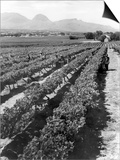 Workers Picking Grapes in Vineyard, Paarl, South Africa, June 1955 Posters