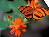 Acraea at Butterfly World, Florida, USA Prints by Michele Westmorland
