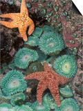 Tidepool of Sea Stars, Green Anemones on the Oregon Coast, USA Plakater af Stuart Westmoreland