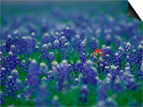 Bluebonnets, Hill Country, Texas, USA Poster von Dee Ann Pederson