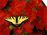 Tiger Swallowtail on Maple Leaves, Michigan, USA Posters by Claudia Adams