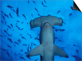 Hammerhead Shark from Below, Galapagos Islands, Ecuador Print by Stuart Westmoreland