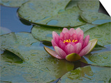 Water Lily in the Japanese Gardens, Washington Arboretum, Seattle, Washington, USA Prints by Darrell Gulin