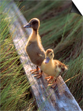Two Ducklings Standing on a Log Print