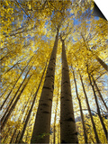 Fall-Colored Aspen Trees, Stevens Pass, Washington, USA Posters by Stuart Westmoreland
