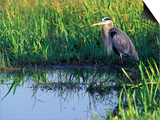 Great Blue Heron in Taylor Slough, Everglades, Florida, USA Prints by Adam Jones