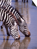 Zebras at the Water Hole, Tanzania Prints by David Northcott