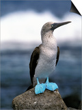 Blue Footed Booby, Galapagos Islands, Ecuador Affiches par Gavriel Jecan