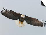 Bald Eagle Flying with Full Wingspread, Homer, Alaska, USA Poster by Arthur Morris