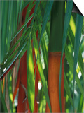Brightly Colored Orange and Green Bamboo Stalks, Dominical, Costa Rica Posters af Cindy Miller Hopkins