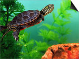 Red Belly Turtle Hatchling, Native to Southern USA Prints by David Northcott