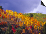 Colorful Aspens in Logan Canyon, Utah, USA Poster by Julie Eggers
