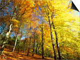 Trees Covered in Yellow Autumn Leaves, Jasmund National Park, Island of Ruegen, Germany Posters by Christian Ziegler