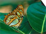 Malachite Butterfly Prints by Adam Jones